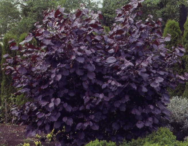 Bushes With Purple Leaves