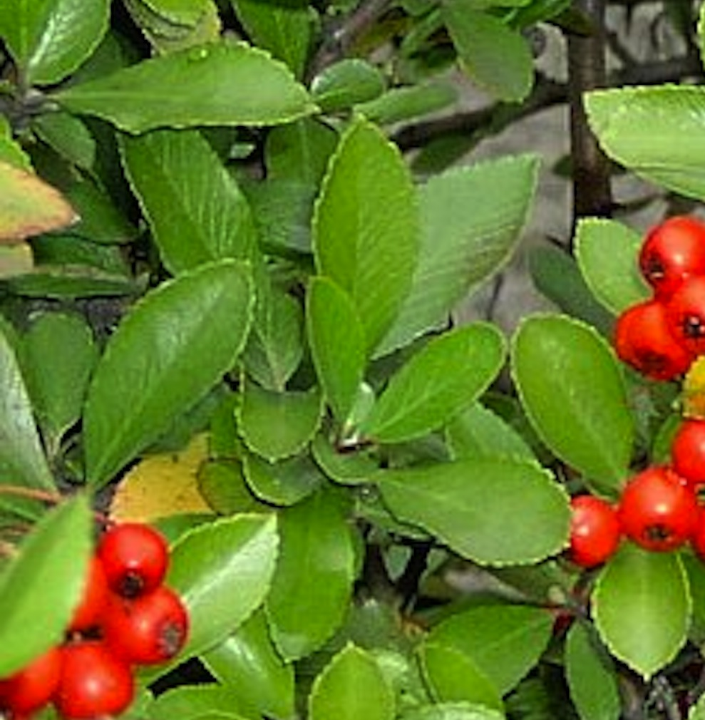 Firethorn is a quick growing shrub that can become loose and wild