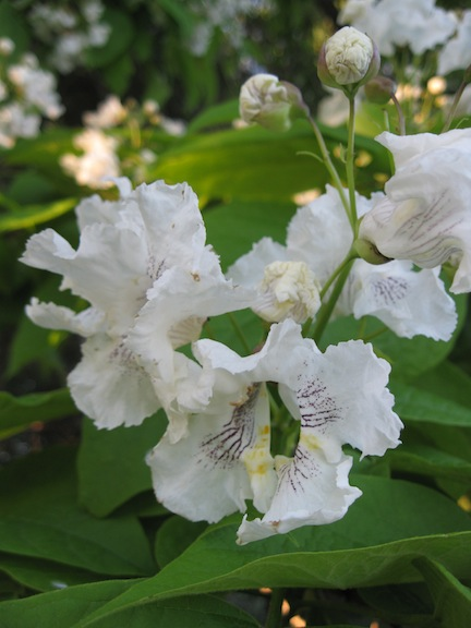 Tree With Large White Bell Shaped Flowers Flowers Healthy