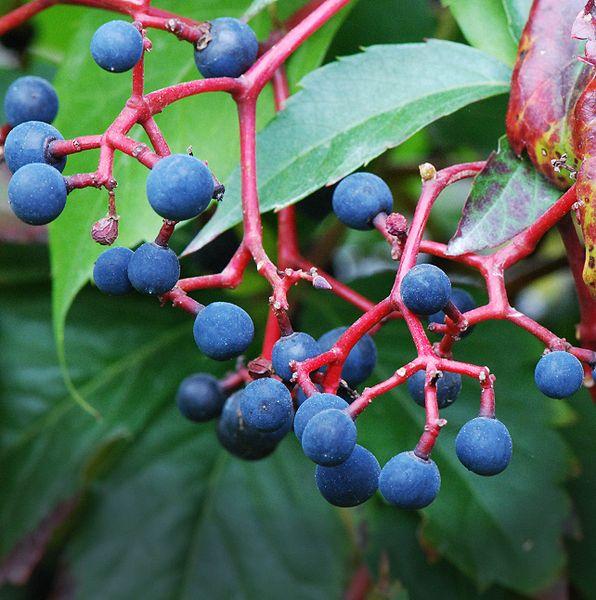 Виноград агротехника укрытие посадка выращивание