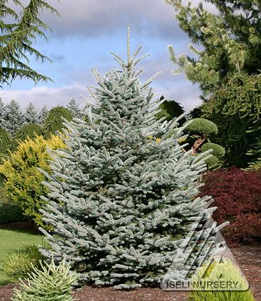 Picea Pungens Var Glauca