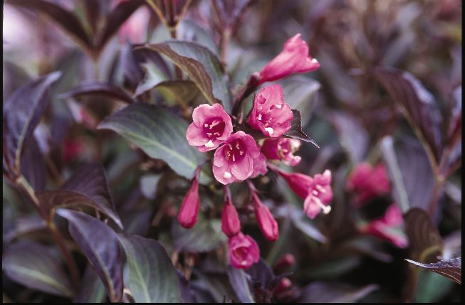 Weigela florida the leaves are green with a variegated white margin tinged with light pink hues the flowers are pink it grows 18 24 inches high and mightylinksfo Gallery